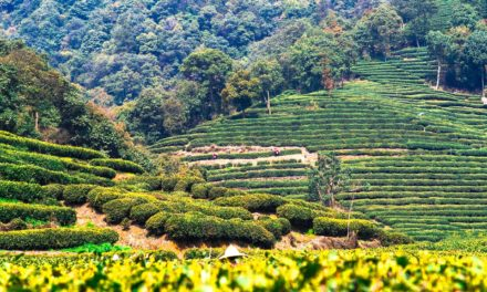 Asia y sus diferentes tipos de té