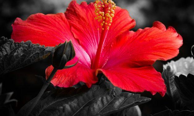 El hibisco, mucho más que una planta decorativa