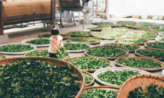 12 + 1 curiosidades que probablemente no sepas sobre las diferentes variedades de té